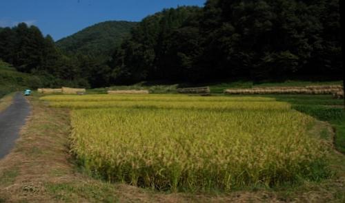 20070926たんぼ収穫前