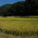 稲刈り、収穫の日